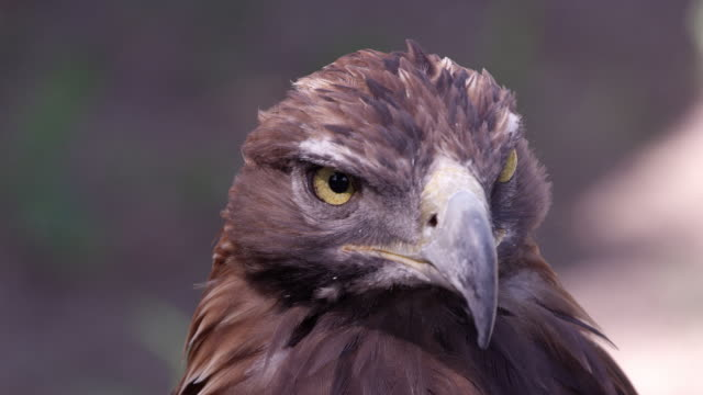 vidéos et rushes de close up view of golden eagles head - aigle