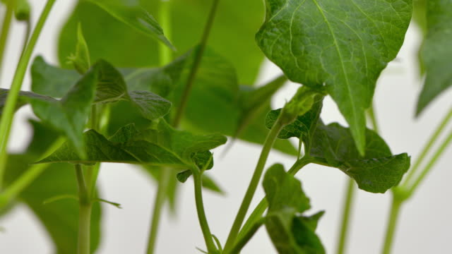 a close up view of green leaves and stems of young runner bean shoots grow up through the frame - runner bean stock videos & royalty-free footage