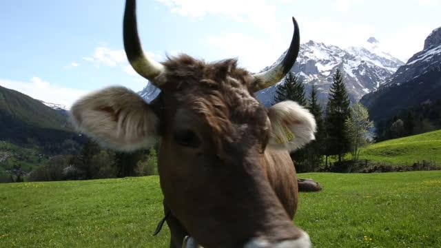 vidéos et rushes de bouchent la vue des curieuse vache à l'alpage - satisfaction