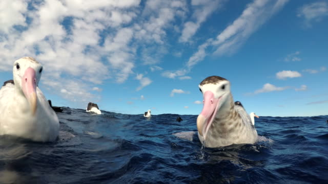 close up view of two wandering albatrosses trying to feed on scraps discarded by fishermen, pacific ocean, north island, new zealand. - animal mouth stock videos & royalty-free footage