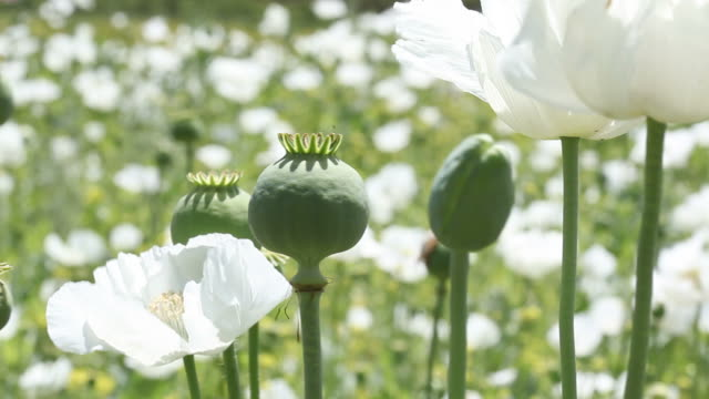 Close Up View Of White Opium Poppy Field In Wind