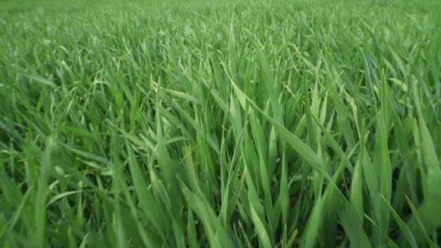close up walk on green wheat field. franconia, bavaria, germany. - weizen stock-videos und b-roll-filmmaterial