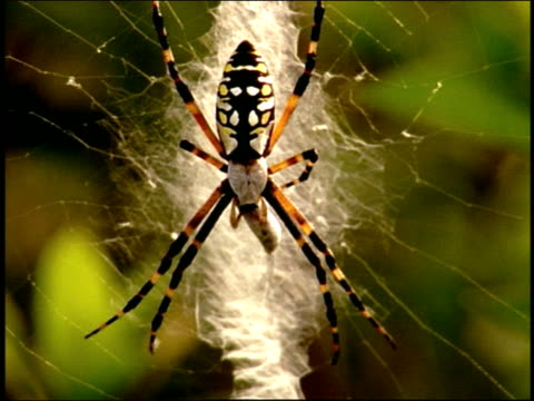 close up wasp spider on web - arachnid stock videos & royalty-free footage