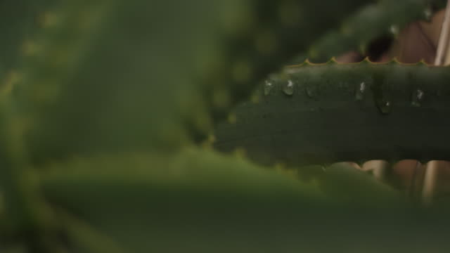 Close up, water droplets on aloe vera plant