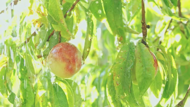 close up water pouring over fresh,ripe peaches hanging from branches,slow motion - orchard stock videos & royalty-free footage