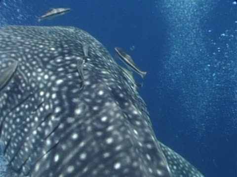 Close up Whale shark filmed from above as swims away from camera, remoras tagging a ride, just below surface, lots of divers bubbles