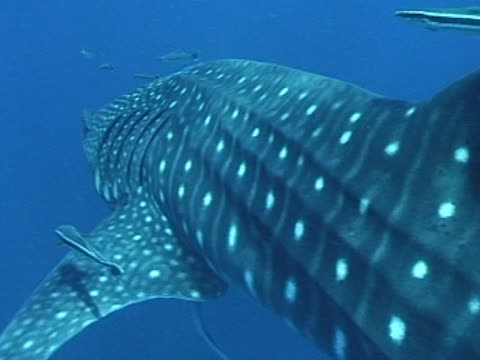Close up Whale shark swims right to left of camera, with remoras