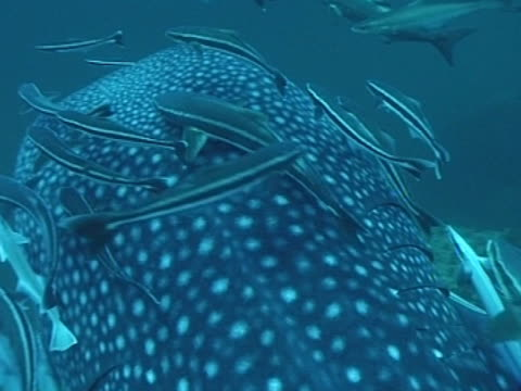 close up whale shark's head filmed from above as swims away from camera, with remoras - gill stock videos & royalty-free footage