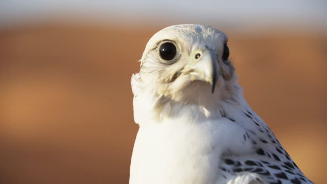 vídeos de stock e filmes b-roll de close up, white falcon in desert - bico