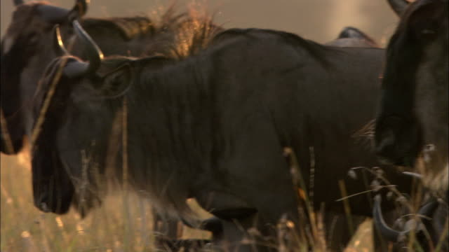 Close up wildbeest profile / pan wildebeest turns head toward CAM / PAN grazing / Kenya, Africa