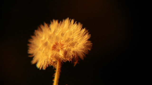 close up wind blowing seeds off dandelion
