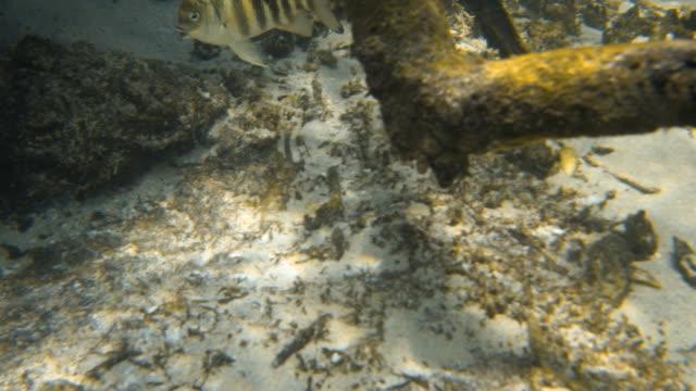 vídeos de stock e filmes b-roll de close up with a yellow patterned fish - sargaço