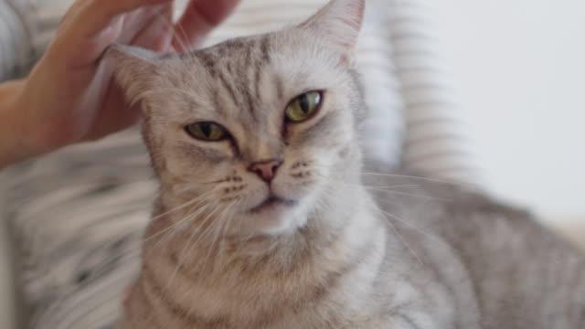 vídeos de stock, filmes e b-roll de close-up mão mulher acariciando um gato bonito. um gato fofo gostando de ser animal de estimação pelo seu dono. - carinhoso