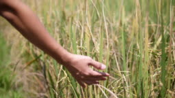 SLO MO, Close up woman hand stroking and caressing ripe rice plant