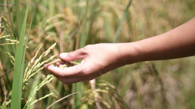 SLO-MO, Nahaufnahme Frau Hand streicheln und liebkosen reif Reispflanze