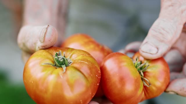 Close up woman holding fresh,ripe heirloom tomato,real time