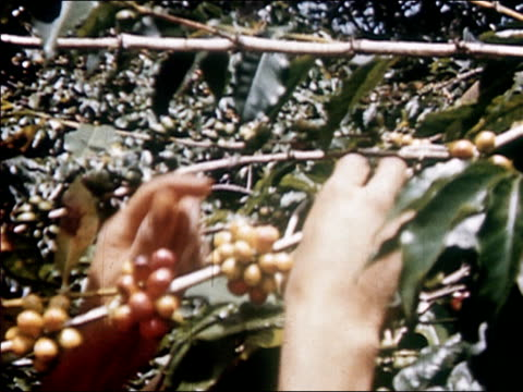 1954 close up woman's hands picking coffee beans from coffee plant / audio - 1954 stock videos and b-roll footage