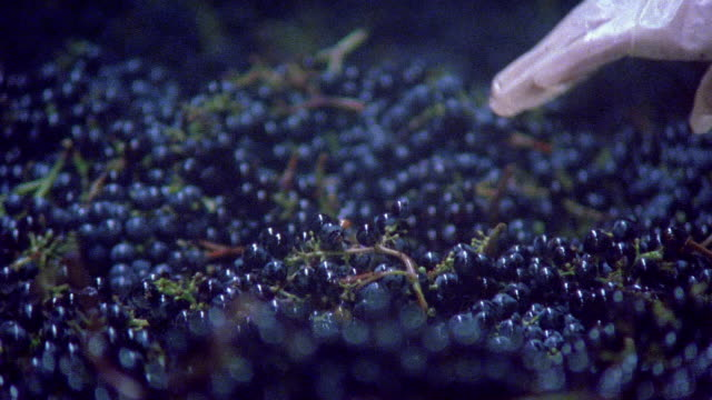 vidéos et rushes de close up workers checking harvested grapes on conveyor belt at robert mondavi winery/ napa valley, california - californie