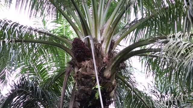 close up workers use harvesting sickles to cut fronds and palm oil fruit bunches from palm trees at the bukit senorang palm oil plantation owned by... - blattfiedern stock-videos und b-roll-filmmaterial