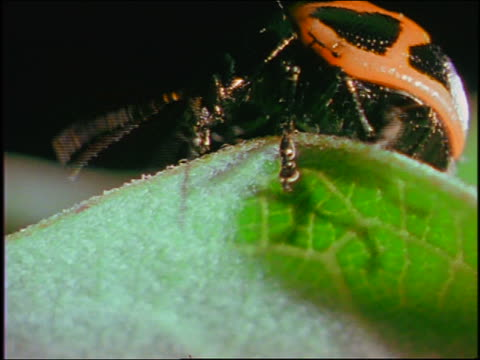 close up yellow + black spotted beetle crawling on edge of leaf + moving antennas - animal antenna stock videos & royalty-free footage