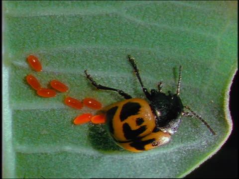 close up yellow + black spotted beetle laying orange eggs on leaf - animal antenna stock videos & royalty-free footage