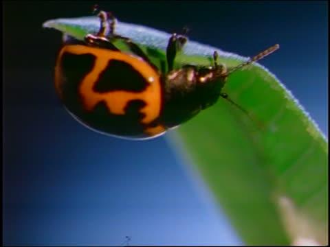 vídeos y material grabado en eventos de stock de close up yellow + black spotted milkweed leaf beetle crawling on edge of leaf - escarabajo de cuerno largo