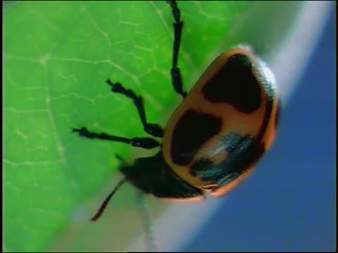 close up yellow + black spotted milkweed leaf beetle on leaf - animal antenna stock videos & royalty-free footage
