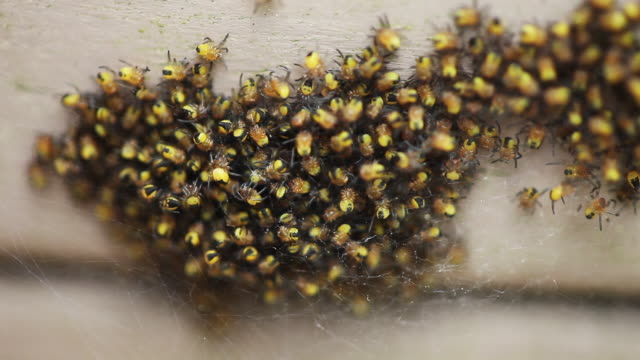 close up, yellow spiders - abundance stock videos & royalty-free footage
