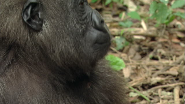 close up young gorilla opening mouth/ beating hands on chest/ placing arms behind head / cameroon - battere le mani esprimere a gesti video stock e b–roll