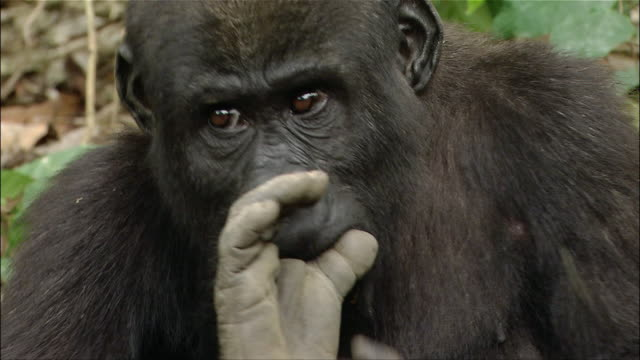 Close up young gorilla picking nose twice and putting finger in mouth / Cameroon