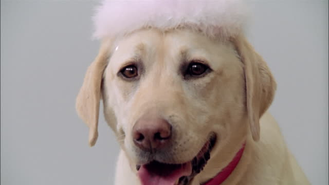 close up zoom in portrait of yellow labrador retriever wearing tiara - crown headwear stock videos and b-roll footage