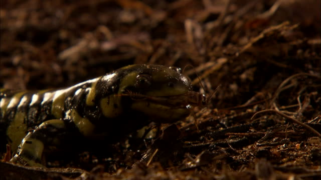 close up zoom in - tiger salamaner on forest floor catches cricket out of the air and eats it  / california usa - salamander stock videos and b-roll footage