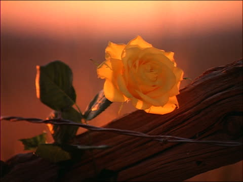 close up zoom in yellow rose on barbed wire fence blowing in breeze / West Texas
