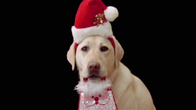 close up zoom in zoom out portrait of yellow labrador retriever wearing santa hat and carrying santa purse in mouth - hut stock-videos und b-roll-filmmaterial
