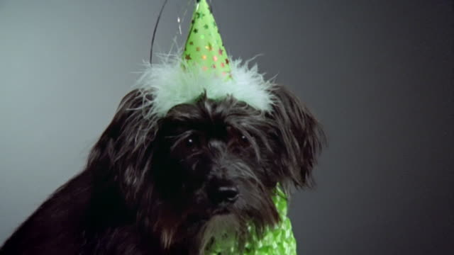 close up zoom out chinese crested powderpuff dog in party hat/ california - party hat stock videos & royalty-free footage