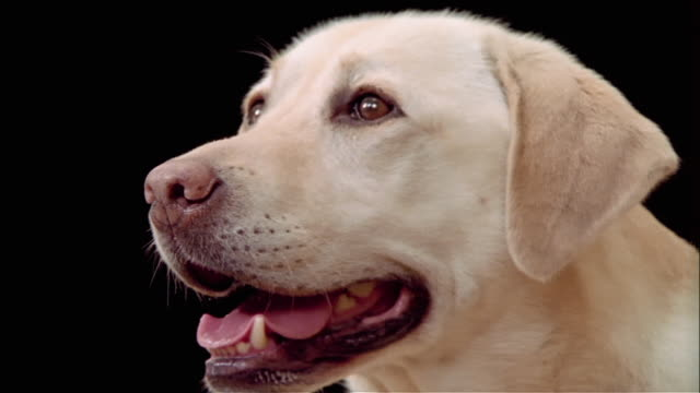 close up zoom out from mouth to portrait of yellow labrador retriever / zoom in to mouth - animal mouth stock videos & royalty-free footage