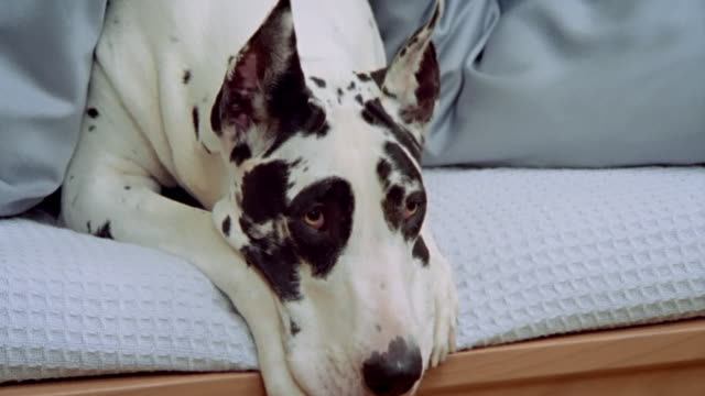 Close up zoom out Great Dane lying under covers at food of bed/ California
