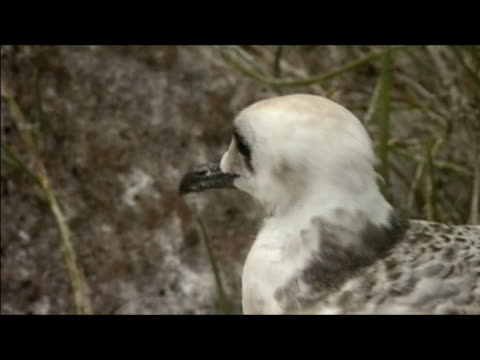 close up zoom out juvenile swallow-tailed gull (creagrus furcatus) perching on rock and looking around / genovesa island, galapagos islands - swallow tailed gull stock videos & royalty-free footage