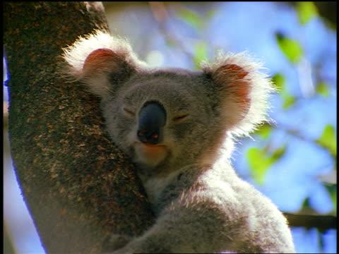 vidéos et rushes de close up zoom out koala bear sitting in tree sleeping / australia - faire un somme