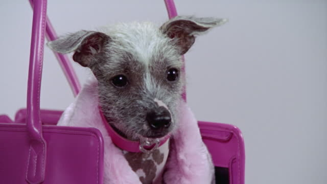 Close up zoom out Mexican Hairless dog wearing pink coat and sitting in pink handbag/ California