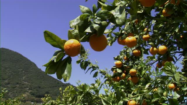 close up zoom out of tangerines on vine. - オレンジ果樹園点の映像素材/bロール