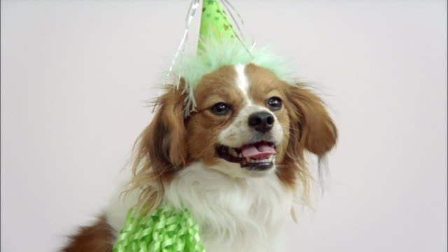 close up zoom out papillon in party hat/ california - pet clothing stock videos & royalty-free footage