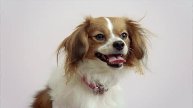 close up zoom out papillon wearing pink collar/ california - pampered pets stock videos and b-roll footage