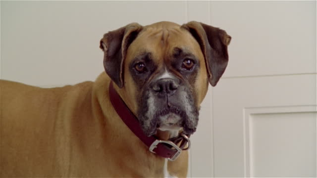 close up zoom out portrait boxer - boxer dog stock videos and b-roll footage