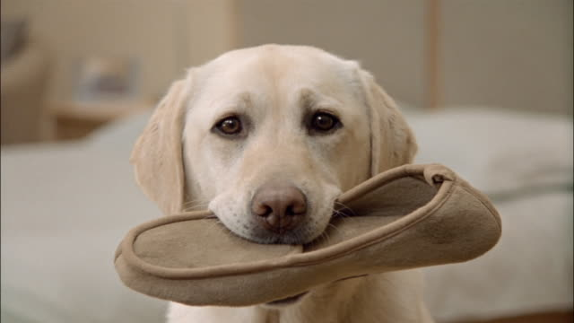 close up zoom out portrait of a yellow labrador retriever holding slipper in mouth - slipper stock videos & royalty-free footage