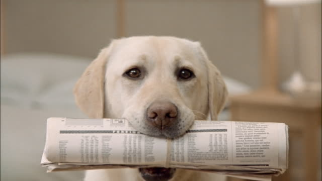 close up zoom out portrait of a yellow labrador retriever holding newspaper in mouth - portare video stock e b–roll