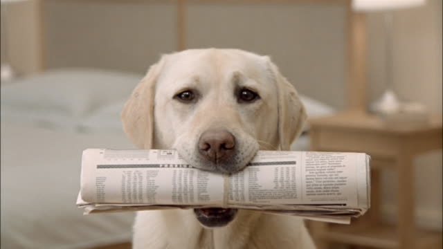 close up zoom out portrait of a yellow labrador retriever holding newspaper in mouth - zeitung stock-videos und b-roll-filmmaterial