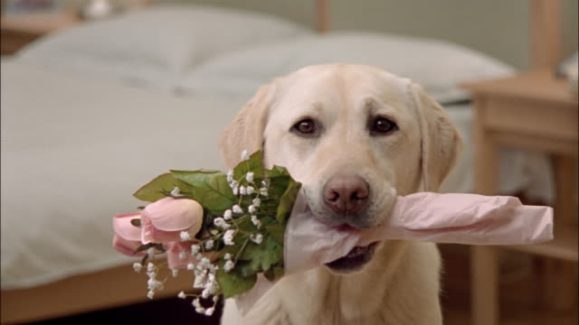 Close up zoom out portrait of a yellow labrador retriever holding bouquet of pink roses in mouth
