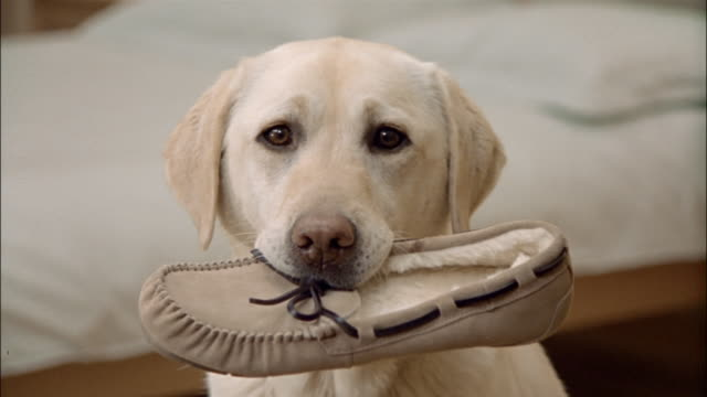 vídeos y material grabado en eventos de stock de close up zoom out portrait of a yellow labrador retriever holding moccasin slipper in mouth - calzado