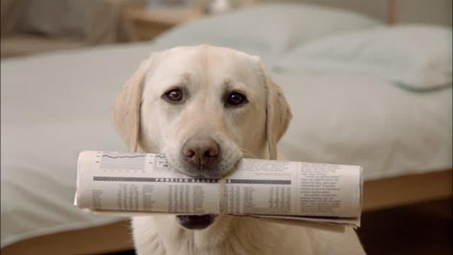 Close up zoom out portrait of a yellow labrador retriever holding newspaper